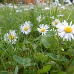 Photo of daisy's in a field